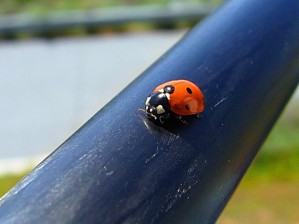 """Ladybug"": Photo by Gordon Wrigley. Used by Permission with a Creative Commons License.  http://www.tolomea.com/2010/08/28/ladybug/"